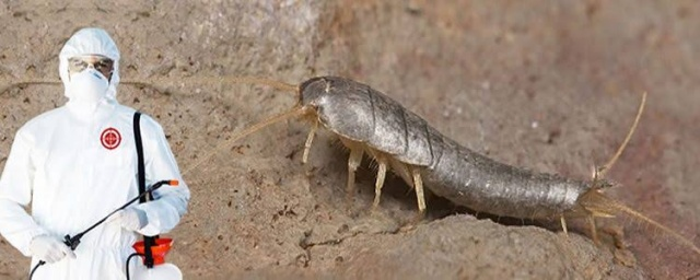 gümüş böceği 'gümüşcün böceği' ilaçlama