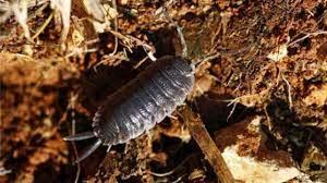 tespih böceği