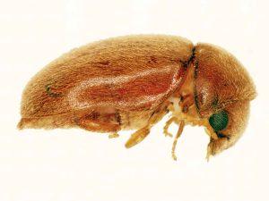 tütün böceği ilaçlama