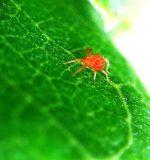 kırmızı örümcek akarlar ilaçlama