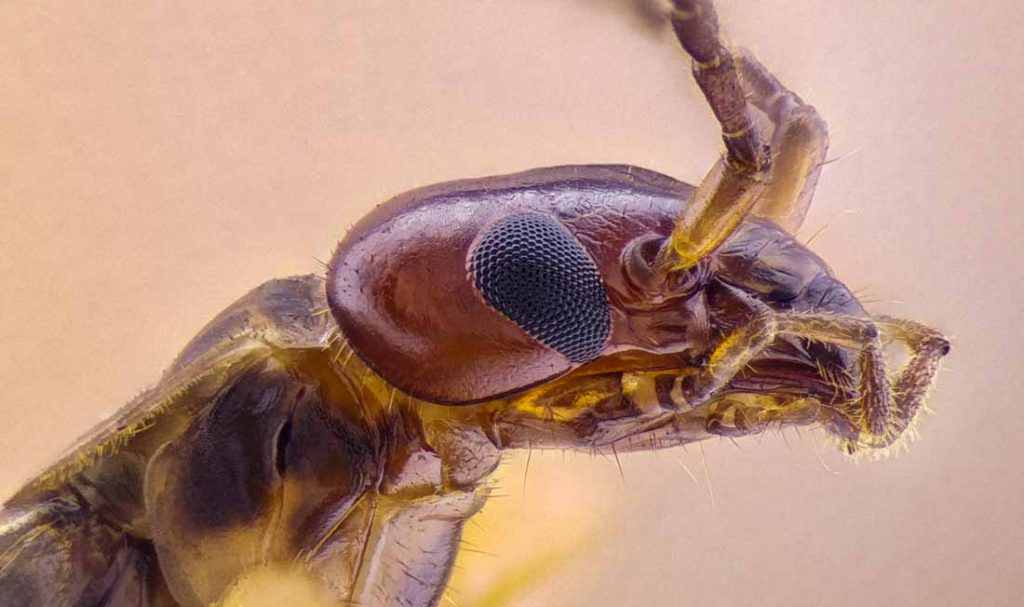 kulağakaçan böceği zehirli mi?