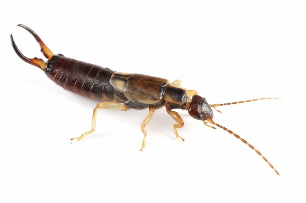 kulağakaçan böceği ilaçlama