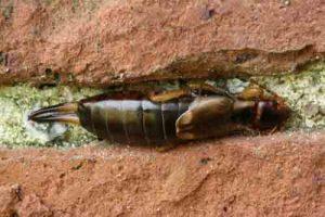 kulağakaçan böceği nerede yaşar