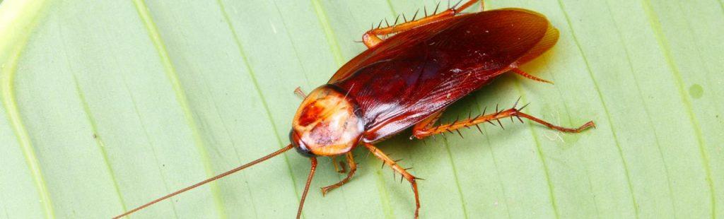 giderden gelen hamam böceği