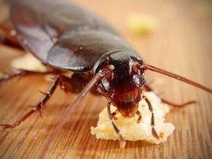 hamam böceği nasıl olur ve nerelerde yaşar