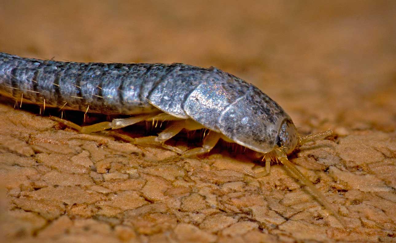 Gümüş böceği ilaçlama