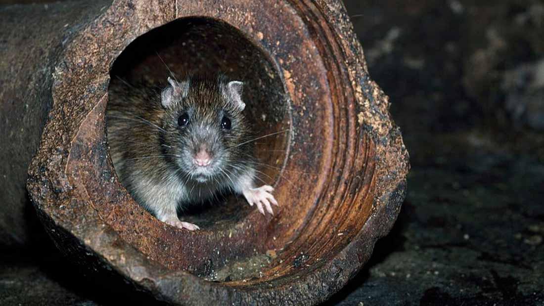 Lağım faresi tuvaletten çıkar mı?Lağım faresi tuvaletten çıkar mı?