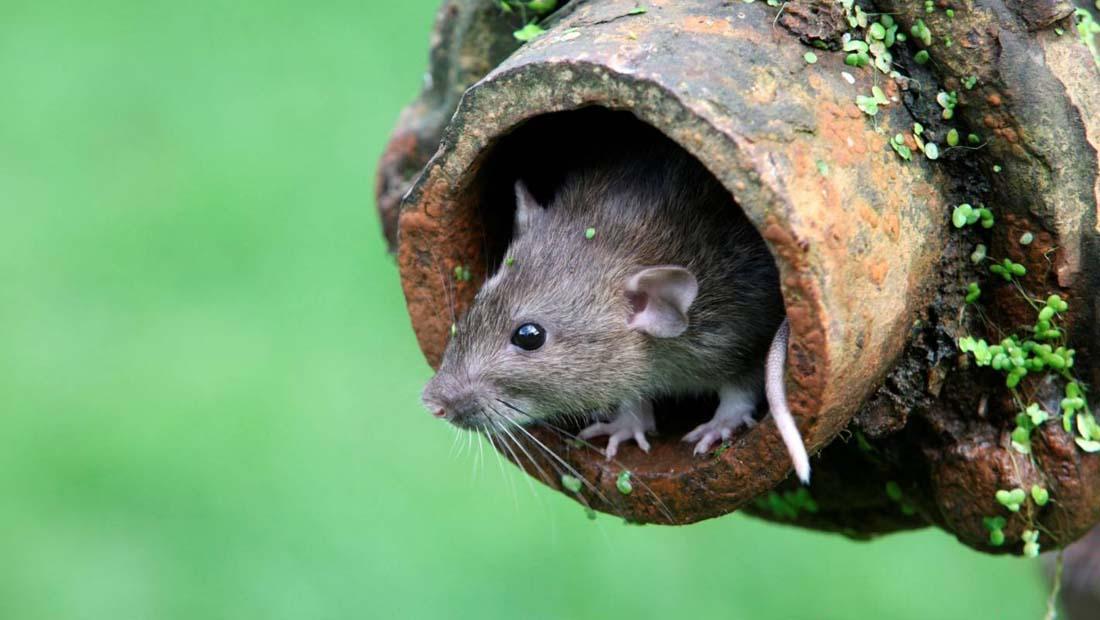 lağım faresi ilaçlama