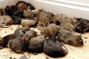 Lağım faresi tuvaletten çıkar mı?