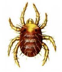 Evde Kırmızı Örümcek Neden Olur