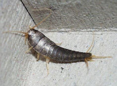 gümüş böceği gümüşcün böceği ilaçlama