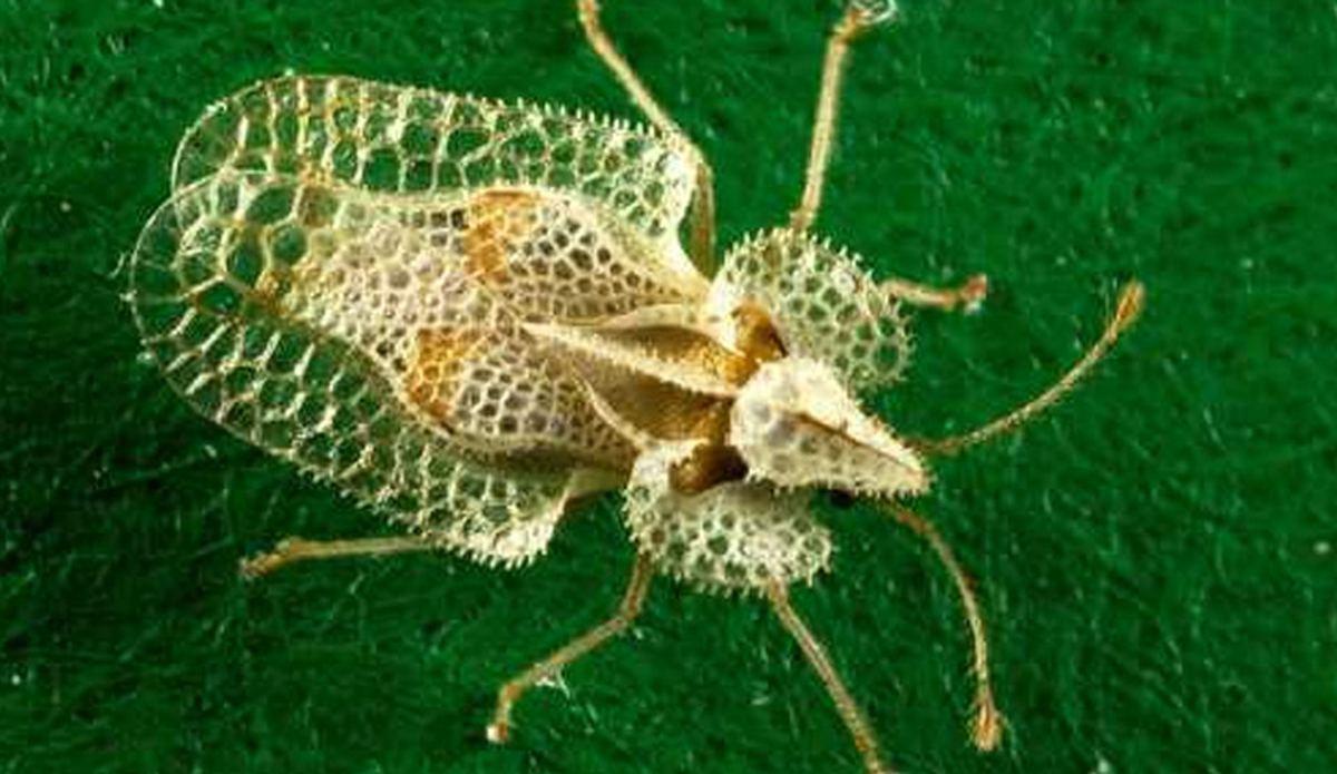 dantel böceği ilaçlama